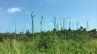 Opfer des Kakaobooms: Tote Tropenhölzer